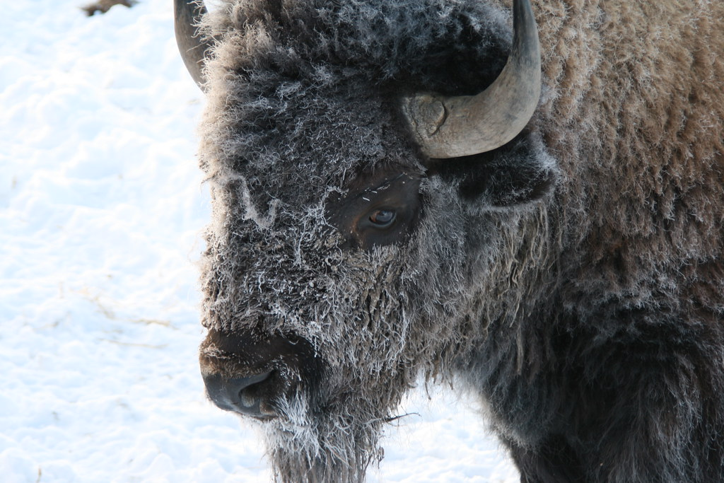 Bison with Frosty Face