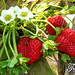 Thailand Travel - Chiang Mai Strawberry Festival (6) by som-is-orange