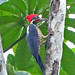 Lineated Woodpecker - Photo (c) Jerry Oldenettel, some rights reserved (CC BY-NC-SA)