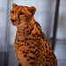 Small photo of Kgosi, King Cheetah