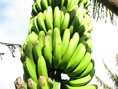 arecales(0.0), flower(0.0), plant(0.0), plant stem(0.0), cooking plantain(1.0), banana(1.0), flora(1.0), green(1.0), produce(1.0), fruit(1.0), food(1.0),