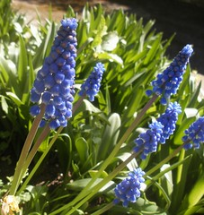 flower, plant, lavender, wildflower, flora, produce, hyacinth,