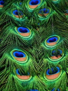 Indian Peafowl Tail