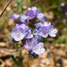 Brewer's phacelia - Photo (c) Ken-ichi Ueda, some rights reserved (CC BY-NC-SA)