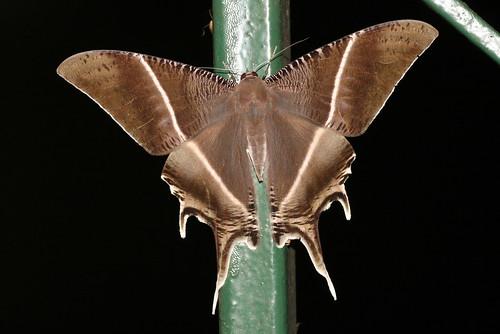 Lyssa zampa (Uraniidae)