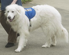 dog breed, animal, polish tatra sheepdog, dog, pet, maremma sheepdog, slovak cuvac, carnivoran, great pyrenees,