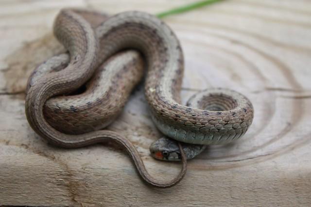 Shy Common Garter Snake Flickr Photo Sharing