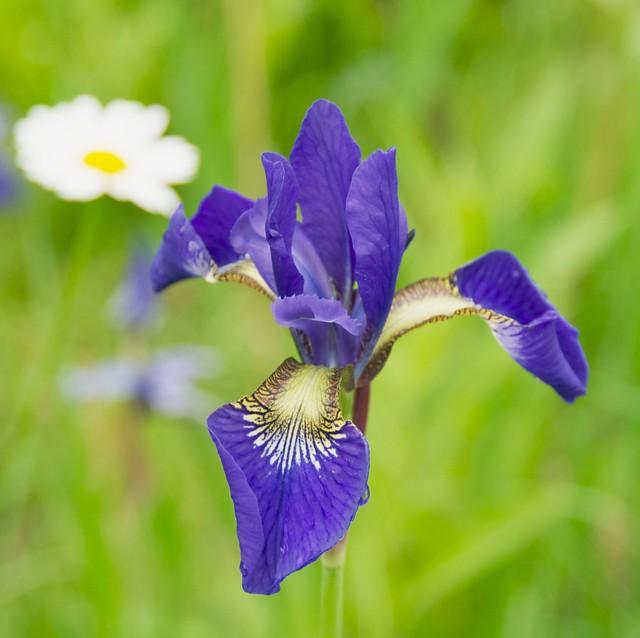 Wild Iris, Ocean Falls, BC