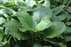 annual plant, komatsuna, leaf, plant, herb,