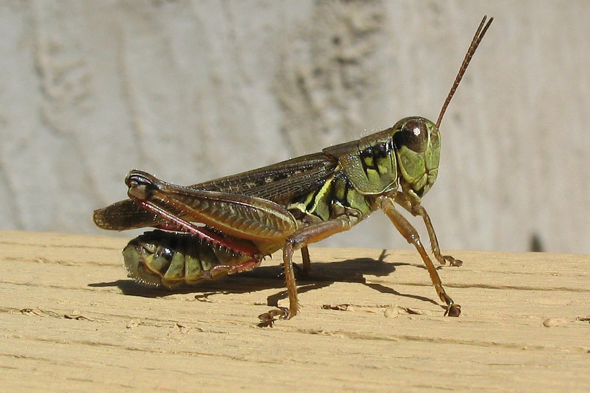 Spur–throated Grasshopper