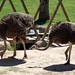 Ostrich at Wildlife World Zoo & Aquarium