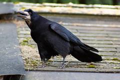 raven(0.0), american crow(0.0), blackbird(0.0), wildlife(0.0), animal(1.0), wing(1.0), crow(1.0), fauna(1.0), beak(1.0), bird(1.0), rook(1.0),