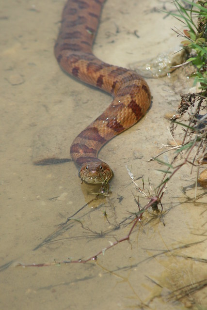 Northern water snake or copperhead flickr photo sharing