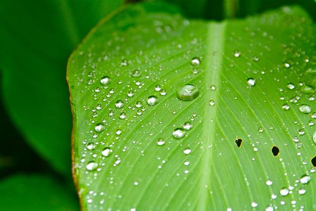 Liście zawdzięczają zieloną barwę chlorofilowi