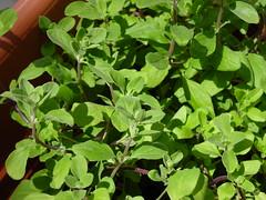 annual plant, shrub, leaf, plant, marjoram, herb,