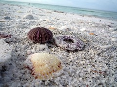 animal, echinoderm, sand, marine biology, seashell, close-up,