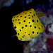 019_adj_DSC0354 aptly named boxfish by edpdiver