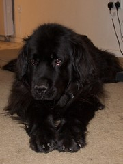 dog breed, animal, dog, schnoodle, boykin spaniel, pet, field spaniel, newfoundland, flat-coated retriever, carnivoran,