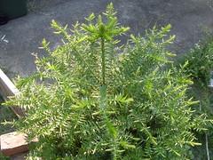 flower(0.0), rosemary(0.0), shrub(1.0), southernwood(1.0), plant(1.0), subshrub(1.0), herb(1.0),
