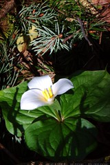 trillium flower in our backyard    MG 0257