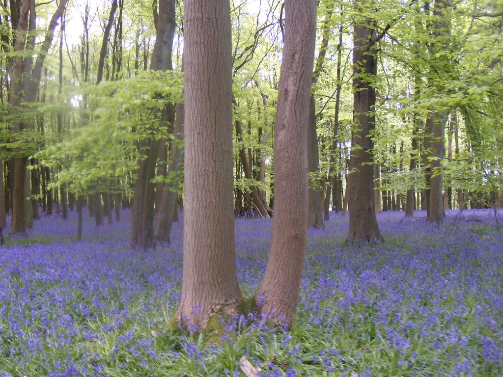 Bluebell wood 1 Tring to Berkhamsted