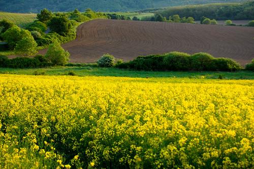 green field yellow landscape rape zöld sárga keszeg repce alsópetény