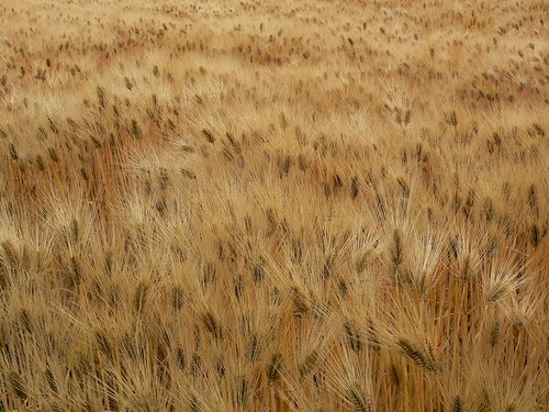 [フリー画像素材] 自然風景, 田園・農場, 小麦・コムギ ID:201301201200