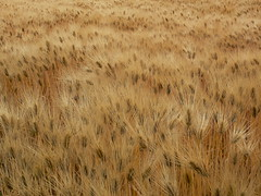 [Free Images] Nature, Field / Farm, Wheat ID:201301201200