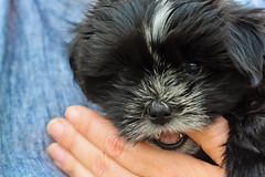 dog breed, animal, puppy, dog, schnoodle, pet, lã¶wchen, bolonka, poodle crossbreed, havanese, morkie, chinese imperial dog, shih tzu, affenpinscher, carnivoran,
