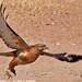 Immature Jackal Buzzard taking off IMG_3541