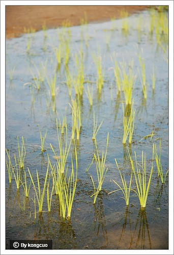 内蒙古植物照片-莎草科莎草属