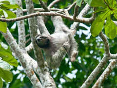 new world monkey(0.0), animal(1.0), three toed sloth(1.0), branch(1.0), monkey(1.0), tree(1.0), fauna(1.0), wildlife(1.0),