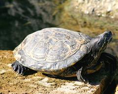 animal, turtle, reptile, fauna, close-up, emydidae, wildlife, tortoise,