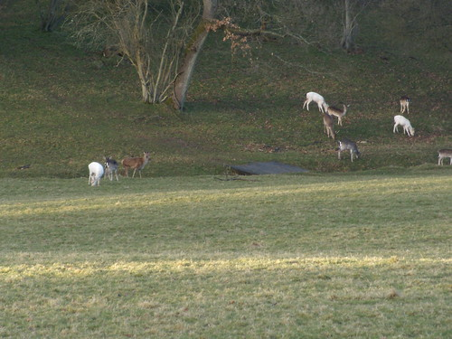 Wadhurst Park deer