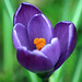 Crocus - Photo (c) Davide Simonetti, some rights reserved (CC BY-NC)