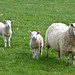 Small photo of Ewe and two lambs