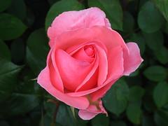 Cómo tratar una Rosa