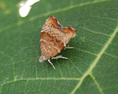 choreutidae lepidoptera a set on flickr. Black Bedroom Furniture Sets. Home Design Ideas
