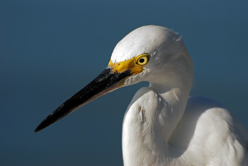 morning white bird nature animal closeup standing outdoors colorful looking feeding florida wildlife watching feathers baitshop sarasota staring egret avian snowyegret plumage sarasotabay wildbird skybackground hartslanding michaelskelton michaeldskelton michaeldskeltonphotography