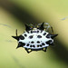 Small photo of Spiny Backed Orb Weaver Spider