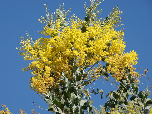 Header of Acacia podalyriifolia