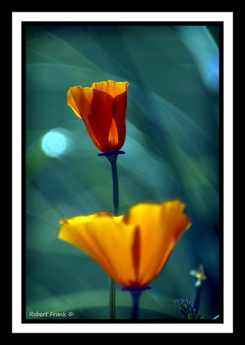 flowers orange colorful bokeh poppies