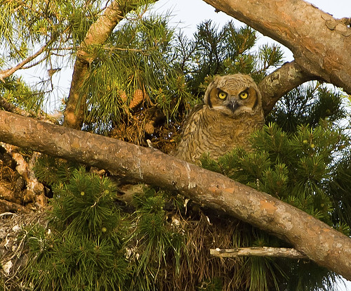 Baby Great Horned Owl by stan hope