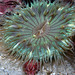 Sea Anemones - Photo (c) Ed Bierman, some rights reserved (CC BY)