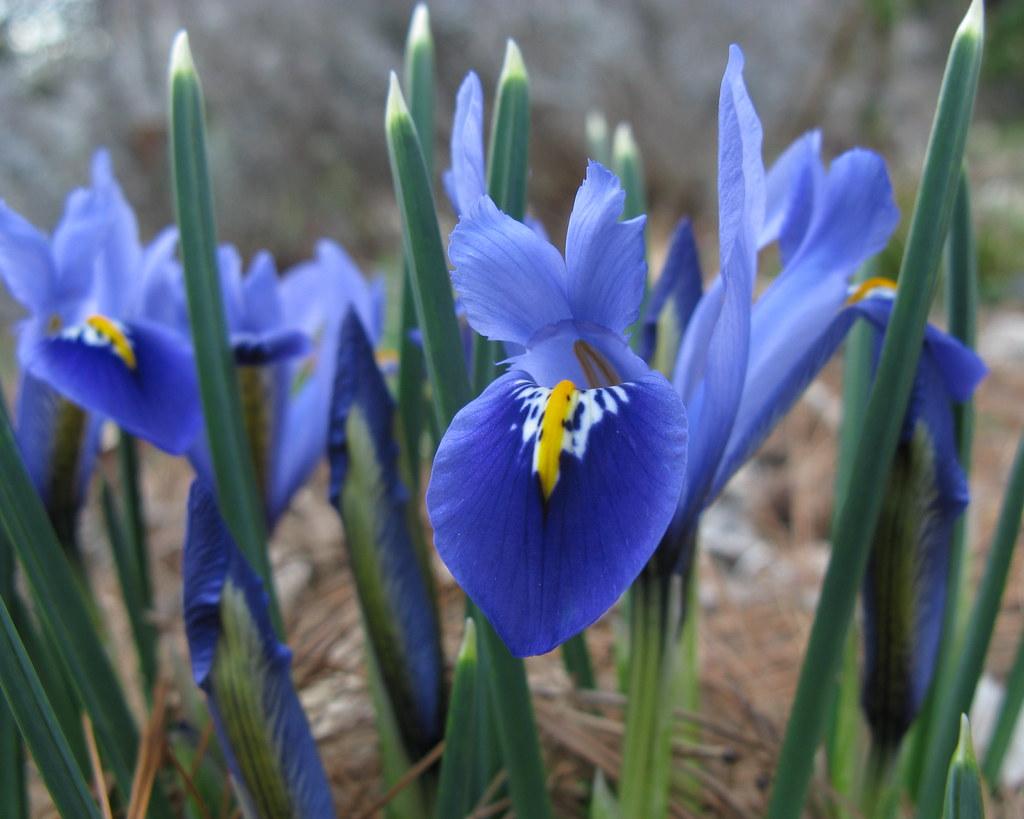 Irises Genus Iris Inaturalist