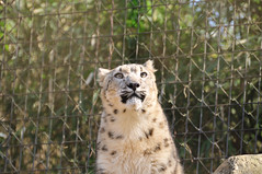 animal, snow leopard, cheetah, zoo, mammal, fauna, cat-like mammal,