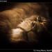 Sad lion, MGM Grand