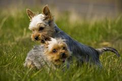 dog breed(1.0), animal(1.0), dog(1.0), grass(1.0), pet(1.0), australian silky terrier(1.0), biewer terrier(1.0), australian terrier(1.0), carnivoran(1.0), yorkshire terrier(1.0), terrier(1.0),