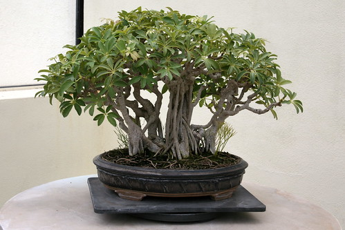 Umbrella Tree (Schefflera arboricola)