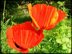 annual plant, flower, leaf, yellow, red, plant, macro photography, wildflower, flora, coquelicot, petal, poppy,